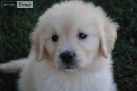 GoDaddy Casts Puppy for New Ad
