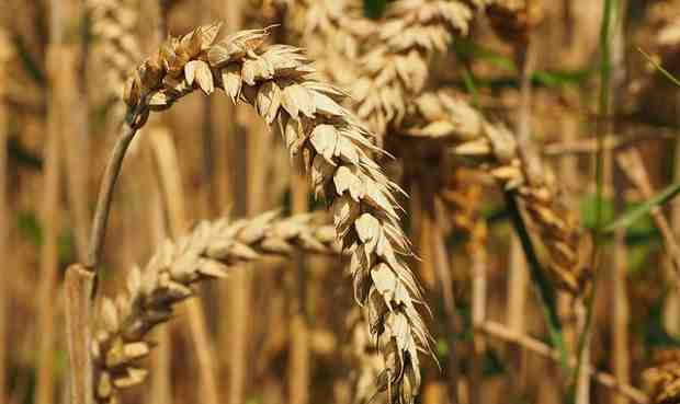 Technology to Help Wheat Breeders Accelerate Crop Improvement