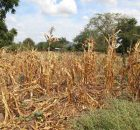 Wilted crops in Neno district, Malawi. Photo: OCHA/Tamara van Vliet
