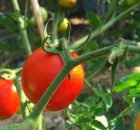 Tomatoes on a greenhouse vine. Photo: Inocucor