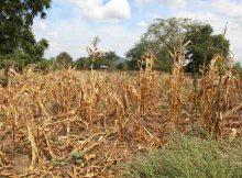Wilted crops in Neno district, Malawi. Photo: OCHA/Tamara van Vliet