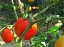 Tomatoes on a greenhouse vine. Photo: Inocucor